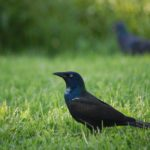 Grackle Heart